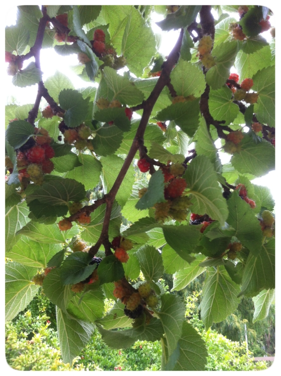 Mulberry Tree 2013